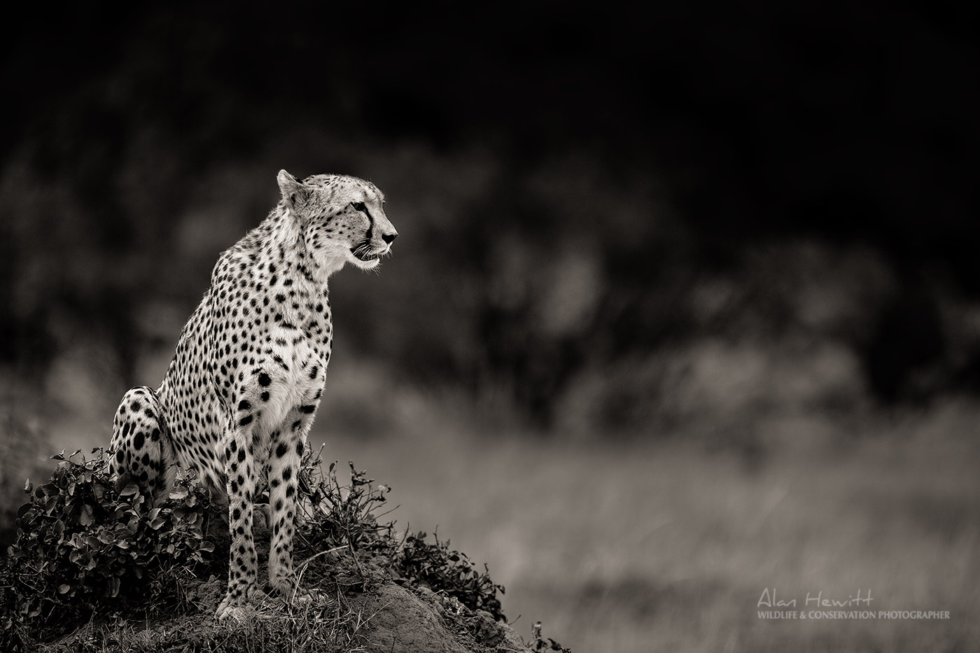 Northern Photography Collective, Alan Hewitt - Cheetah