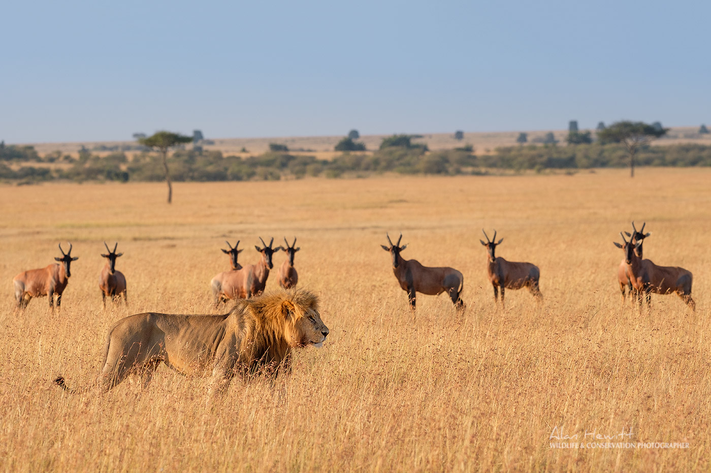 Northern Photography Collective, Alan Hewitt - Male Lion and Topi Herd